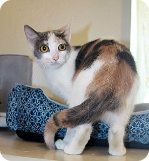 Domestic Shorthair Cat for adoption in Grinnell, Iowa - Taffy