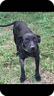 Labrador Retriever Mix Dog for adoption in Manchester, New Hampshire - Taylor