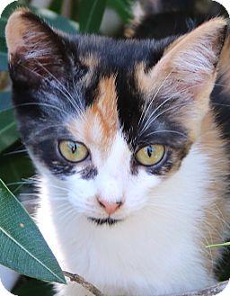 Calico Kitten for adoption in cupertino, California - Pandora -- $50.00 adoption fee