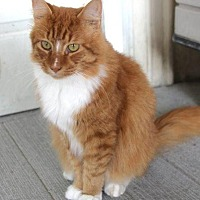 Domestic Longhair Cat for adoption in New Bern, North Carolina - Tom