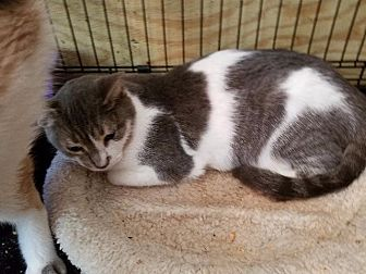 Domestic Shorthair Cat for adoption in Spring, Texas - Gracie
