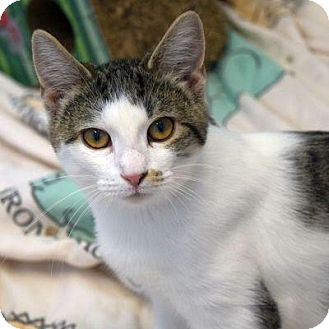 Domestic Shorthair Cat for adoption in Denver, Colorado - Hardvard
