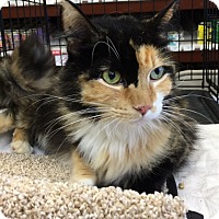 Calico Cat for adoption in Pasadena, California - Calli