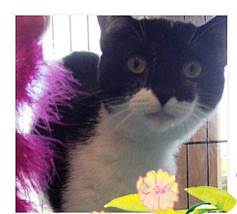 Domestic Shorthair Cat for adoption in Orange, California - Hope