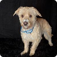 Adopt A Pet :: Lexi - Van Nuys, CA