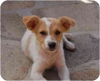 Terrier (Unknown Type, Small) Mix Puppy for adoption in Chula Vista, California - Alfie