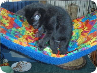 Domestic Shorthair Kitten for adoption in Manalapan, New Jersey - Baker