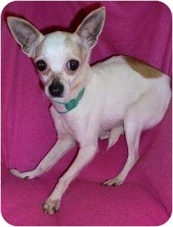 chihuahua rescue ny lucille adopted dog new york ny chihuahua italian 8785
