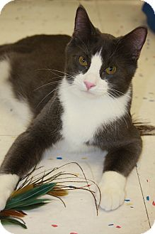 Domestic Shorthair Cat for adoption in Phoenix, Arizona - Saffron
