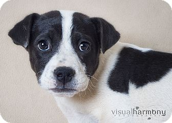 Cattle Dog/Shar Pei Mix Puppy for adoption in Phoenix, Arizona - Zira