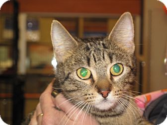 Domestic Shorthair Cat for adoption in Port Republic, Maryland - Merci
