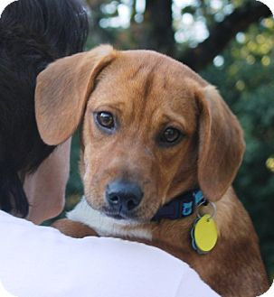 Dachshund/Labrador Retriever Mix Puppy for adoption in Homewood, Alabama - Mancy