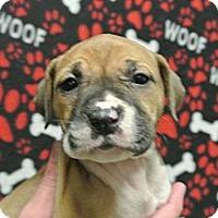 Adopt A Pet :: Remi - white settlment, TX
