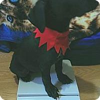 Adopt A Pet :: Baby Renegade - Marlton, NJ