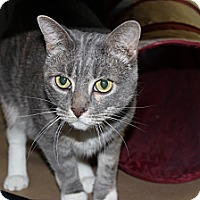 Domestic Shorthair Cat for adoption in Secaucus, New Jersey - Misha