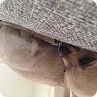 Adopt A Pet :: Hattie