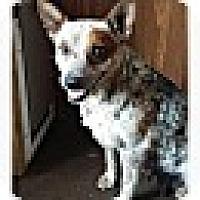 Adopt A Pet :: Aussie (DC) - Hagerstown, MD