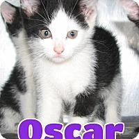 Domestic Shorthair Kitten for adoption in Lawrenceburg, Kentucky - #116 Oscar