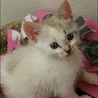 Adopt A Pet :: Snowball - Nuevo, CA