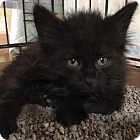 Adopt A Pet :: Silky - Furlong, PA