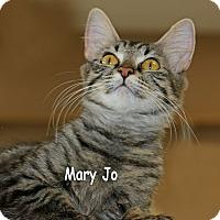 Domestic Shorthair Cat for adoption in Idaho Falls, Idaho - Mary jO