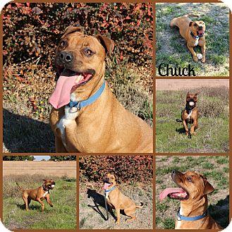 Boxer Mix Dog for adoption in Yuba City, California - Chuck