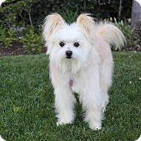 Adopt A Pet :: OLIVER - Newport Beach, CA