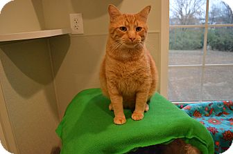 Domestic Shorthair Cat for adoption in St. Charles, Missouri - Taco