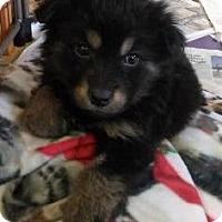 Adopt A Pet :: Puppies - Sauk Rapids, MN