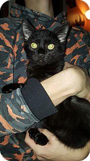 Domestic Shorthair Kitten for adoption in Richmond, Michigan - Thor