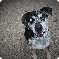 Catahoula Leopard Dog Mix Dog for adoption in Angola, Indiana - Zeus