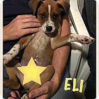 Adopt A Pet :: Eli - Tempe, AZ
