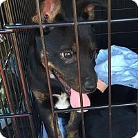 Adopt A Pet :: Vincent - Silverdale, WA