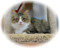 Domestic Mediumhair Kitten for adoption in Shelton, Washington - Jayne