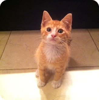 Domestic Shorthair Kitten for adoption in Long Beach, New York - Tommy