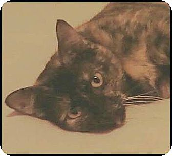 Calico Cat for adoption in Madison, Tennessee - Olivia
