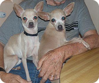Lady from Atlanta | Adopted Dog | Buford, GA | Chihuahua Selkirk Rex Atlanta