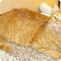 Domestic Mediumhair Cat for adoption in Miami, Florida - Rudy