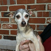 Chihuahua Dog for adoption in Summerville, South Carolina - Tia