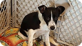 Rat Terrier/Jack Russell Terrier Mix Puppy for adoption in Crestwood, Illinois - Quinn