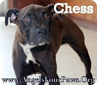 Labrador Retriever/Pit Bull Terrier Mix Dog for adoption in Humble, Texas - CHESS