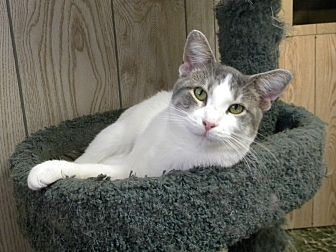 Domestic Shorthair Cat for adoption in Bartlett, Illinois - Lilly Rose
