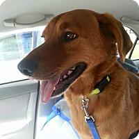 Adopt A Pet :: Sampson - North Brunswick, NJ