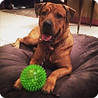 Adopt A Pet :: Hulk - Davie, FL