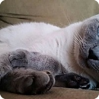 Siamese Cat for adoption in Oviedo, Florida - Motzi the Lilac Point Siamese