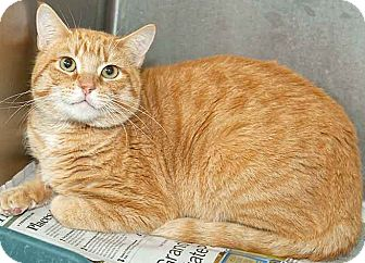 Domestic Shorthair Cat for adoption in Lake Charles, Louisiana - Kohn