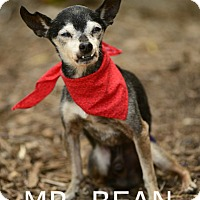 Adopt A Pet :: MR. BEAN - Rancho Palos Verdes, CA