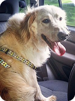 Golden Retriever Mix Dog for adoption in BIRMINGHAM, Alabama - Charley IV