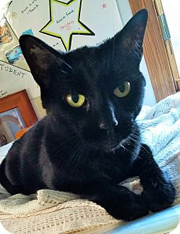 Domestic Shorthair Cat for adoption in Mastic Beach, New York - SHADOW !!!