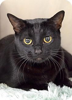 Domestic Shorthair Cat for adoption in Dublin, California - Artemis